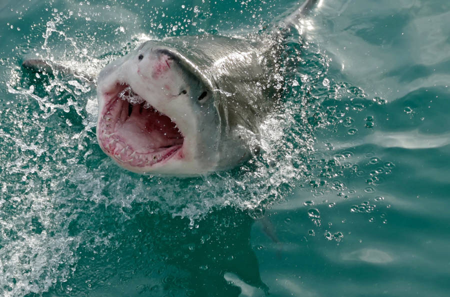 Great White Shark Deadly Animals