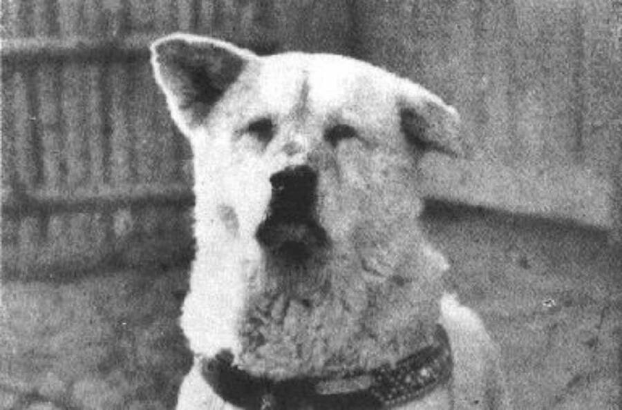 Close-Up Of Hachiko