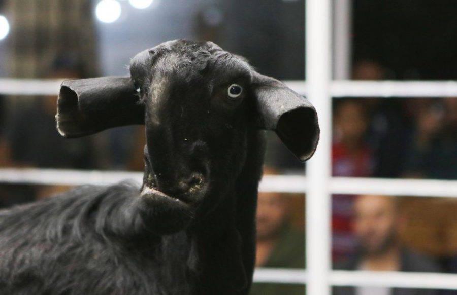 Rare Goat Auction