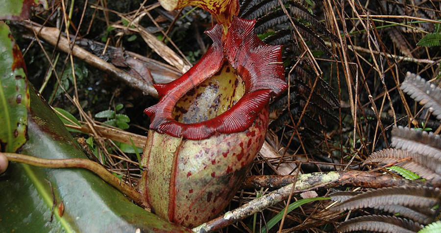Nepenthes Rajah Pitcher Plant