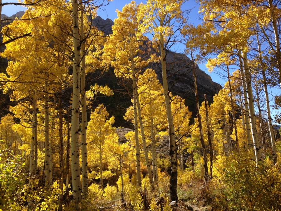 Pando Golden Trees