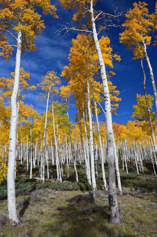 Tall Aspens In Utah