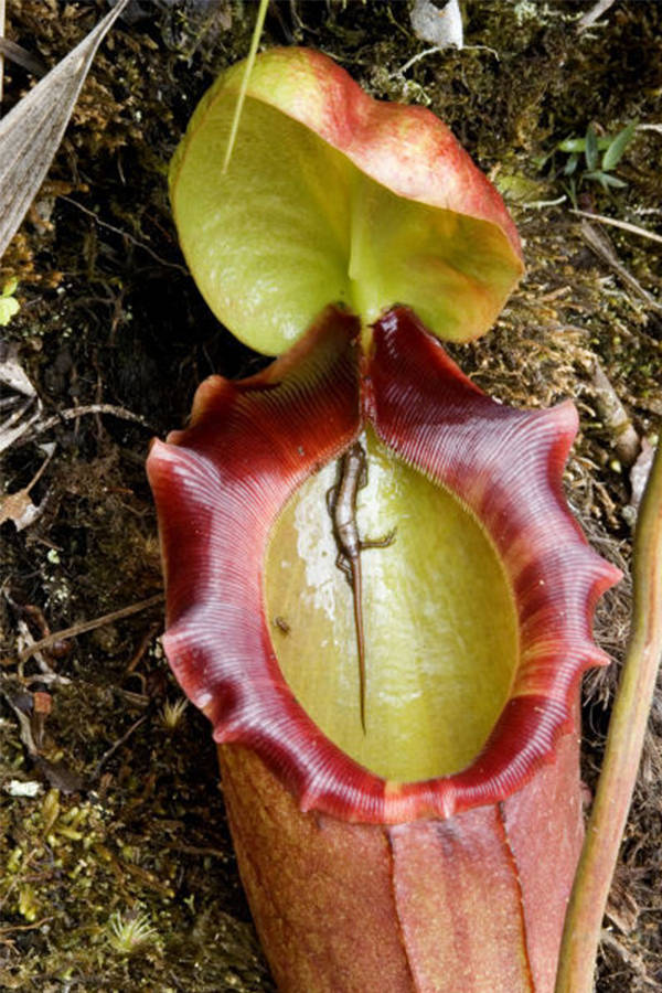 Pitcher Plant Lizard
