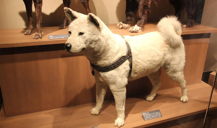 Stuffed Hachiko