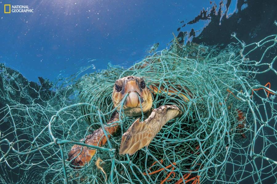 Loggerhead Turtle Stuck In Net