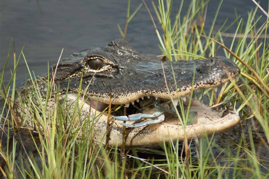 Alligators In Saltwater