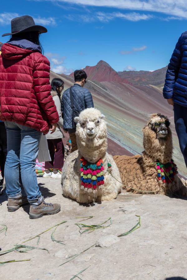 Alpaca Peru Mountain