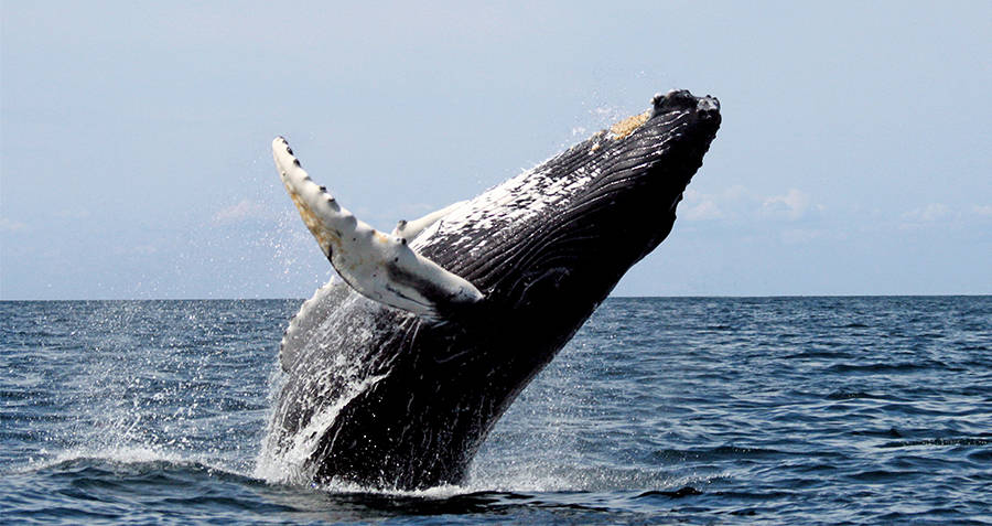 Humpback Toothed Whales