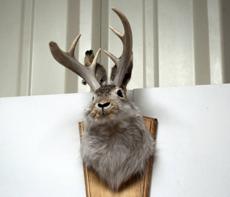 A Mounted Rabbit With Antlers