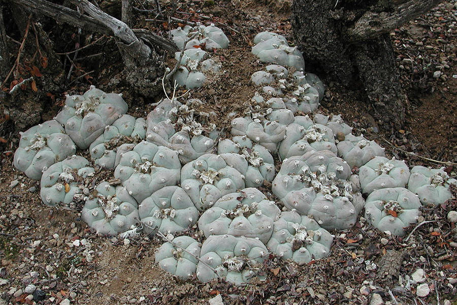 Peyote Plant In The Wild
