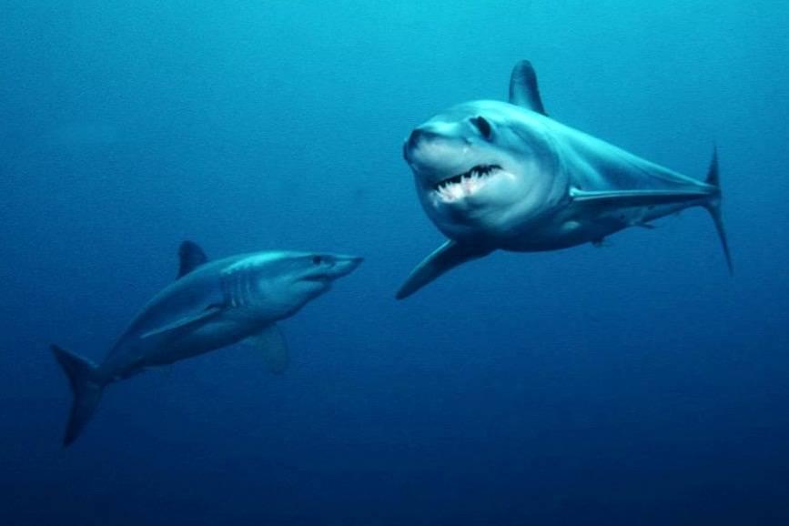 Shoftfin Mako Shark