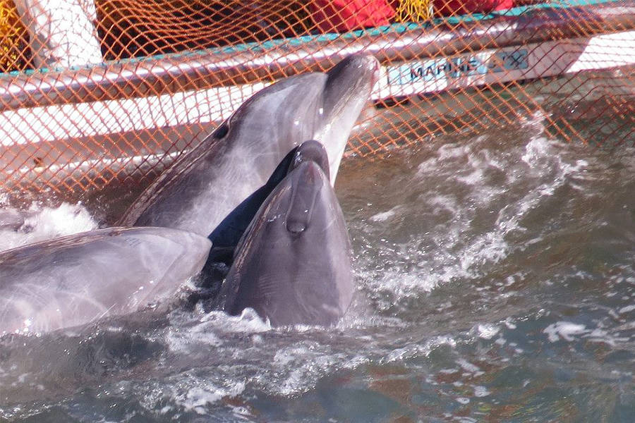 Taji Stuck Dolphins
