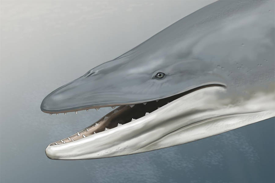 Toothed Whale Drawing