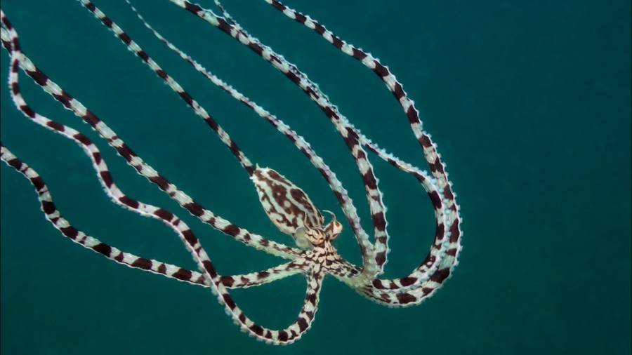 Mimic Octopus Video Thumbnail For Youtube Video Wos8kouz810