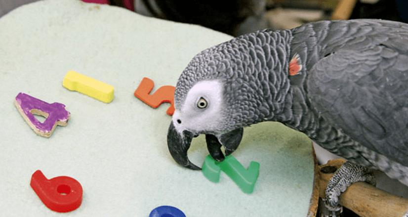 Papagáj-intelligencia
