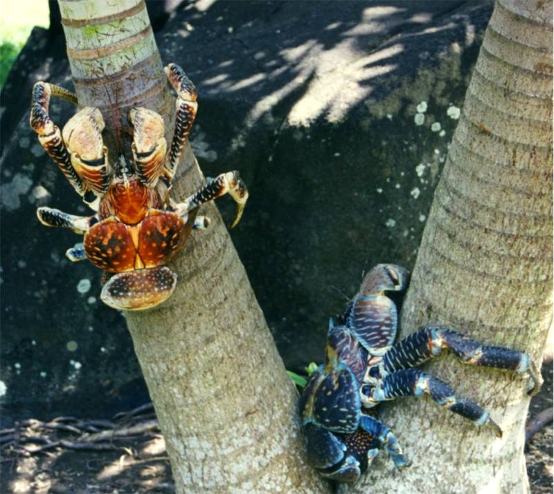 Coconut Crabs Climbing Trees