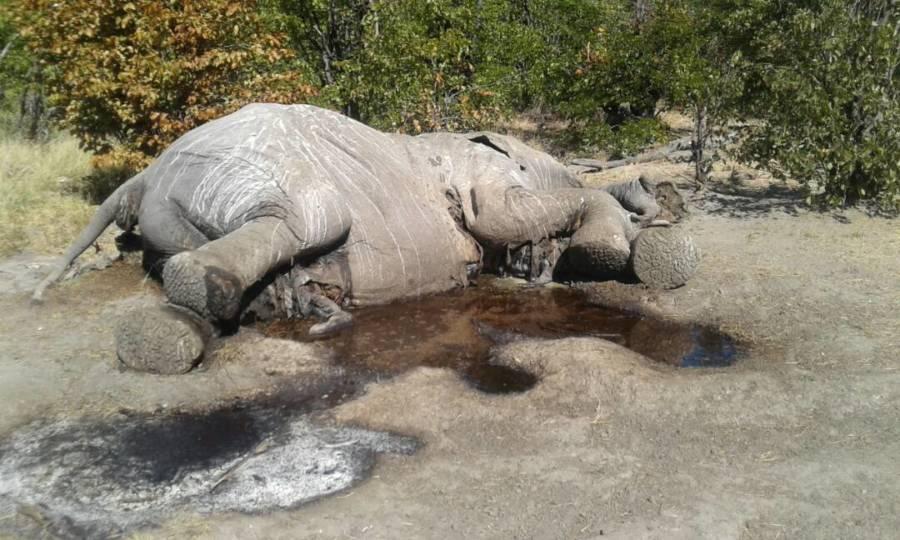 Dead Elephant 1