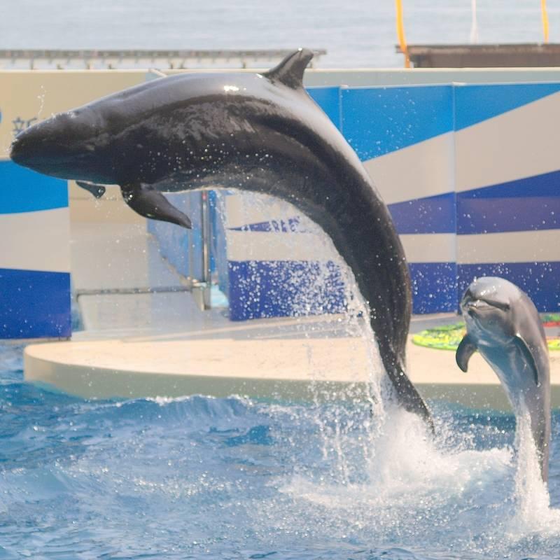 Dolphin False Killer Whale
