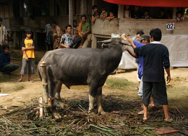 Toraja Buffalo Slaughter
