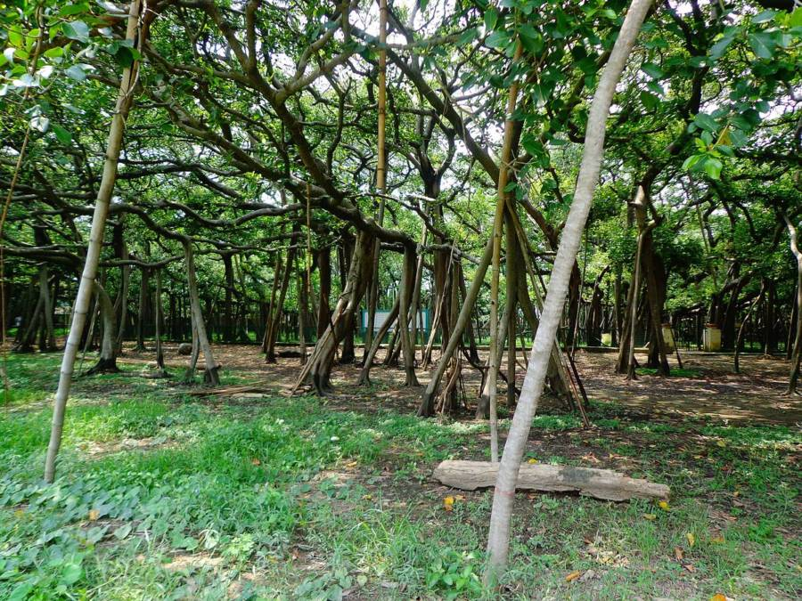 Great Banyan Tree Roots