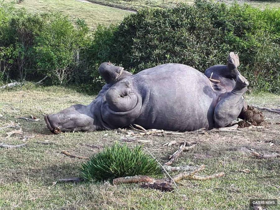 Bella Rhino
