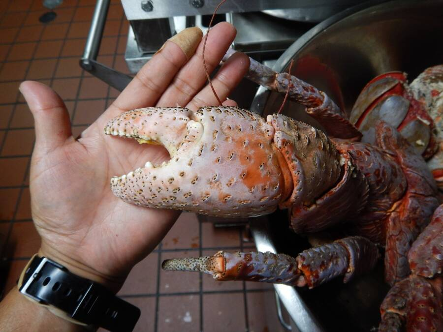 Can You Eat Coconut Crabs
