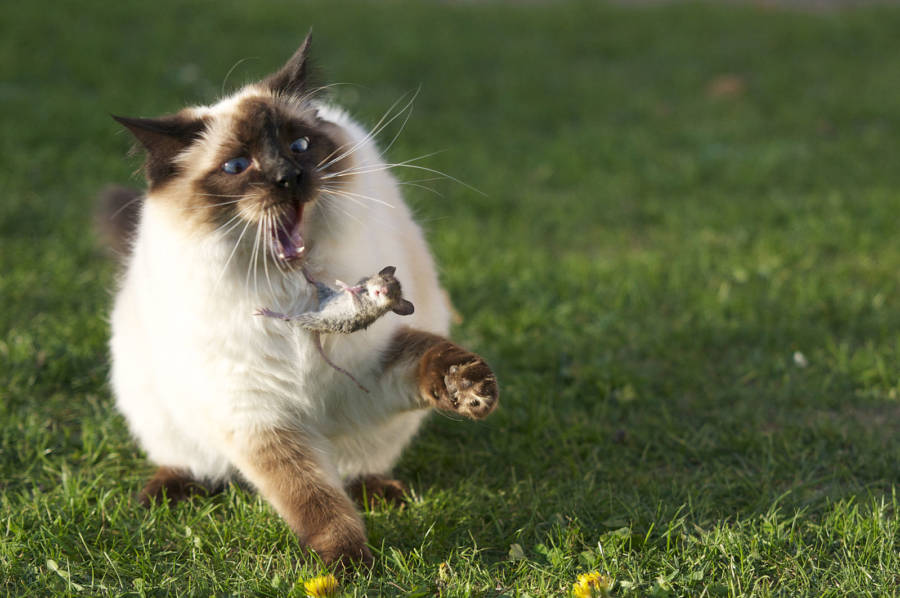 Cat Tossing Mouse