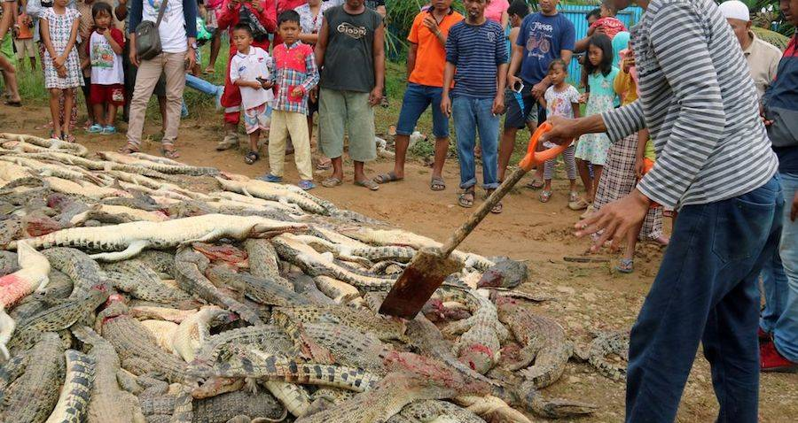 Crocodiles Slaughtered Indonesia