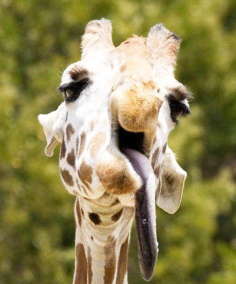 Animals With Down Syndrome Giraffe