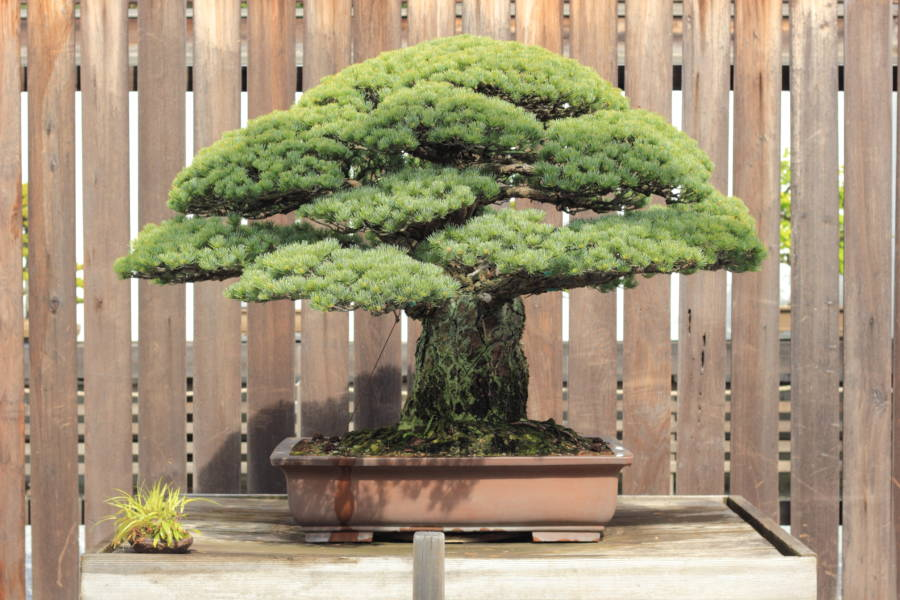 Bonsai Tree That Survived Hiroshima