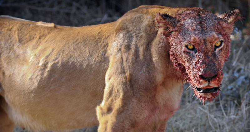 pride of lions eats group of poachers alive in south african game