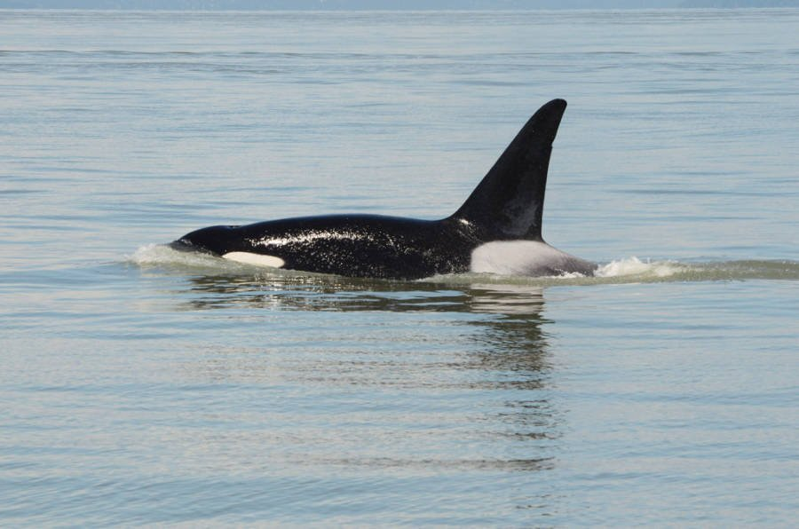 9129ef3ba2 For Some Reason, Killer Whales Are Horrifically Murdering Great ...