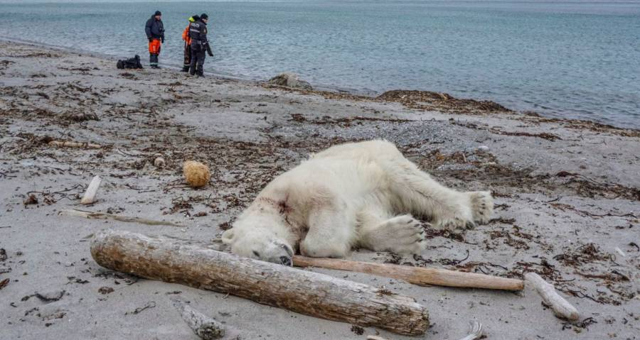 Polar Bear Shot And Killed After Tourists Encroach On Remote Territory