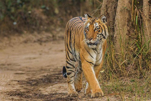 Tiger In Corbett Park