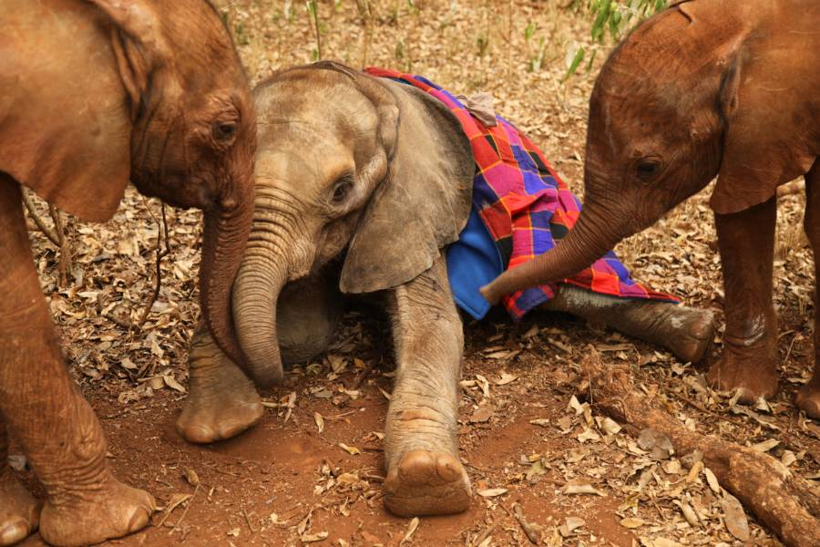 baby elephants are separated from their mothers and tortured for tourism