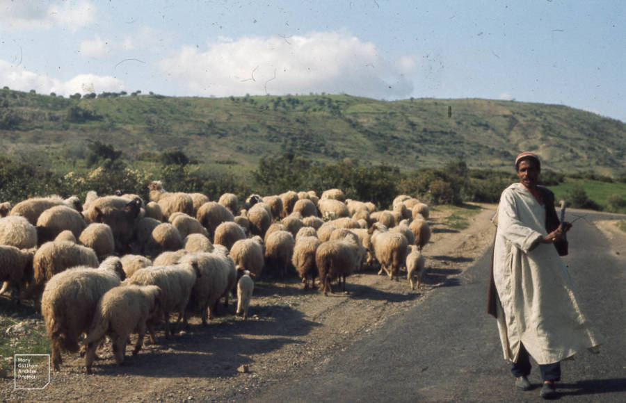 Berber Shepherd And His Sheep