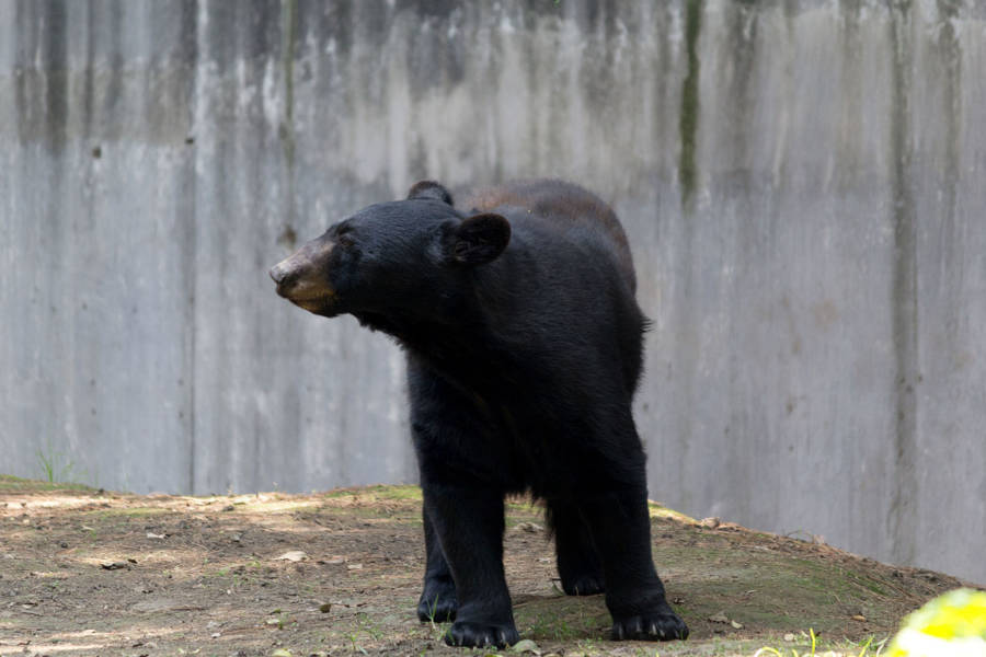 Black Bear At Zoo