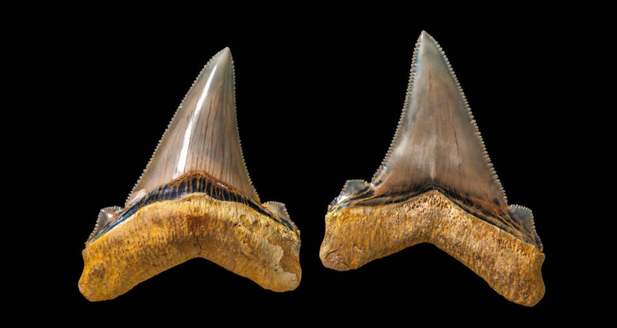 Carcharocles Angustidens Teeth