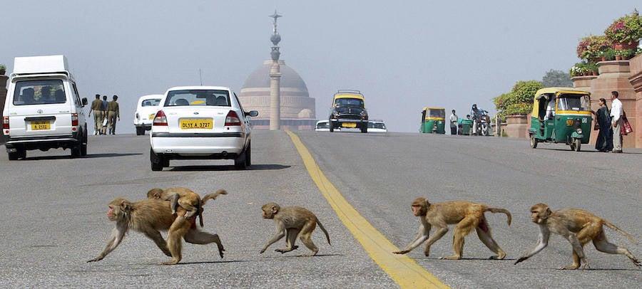 Monkeys In Delhi