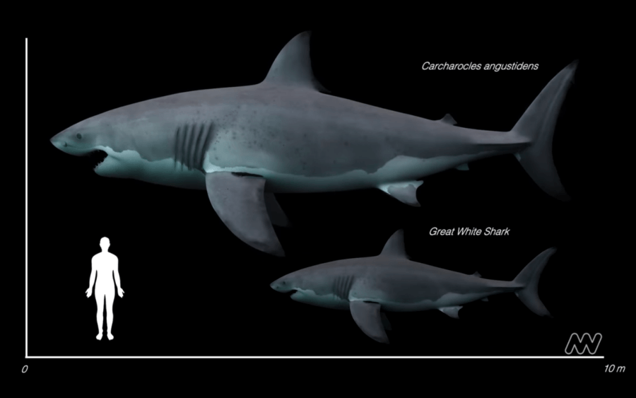 Size Of Great White And Great Jagged Sharks
