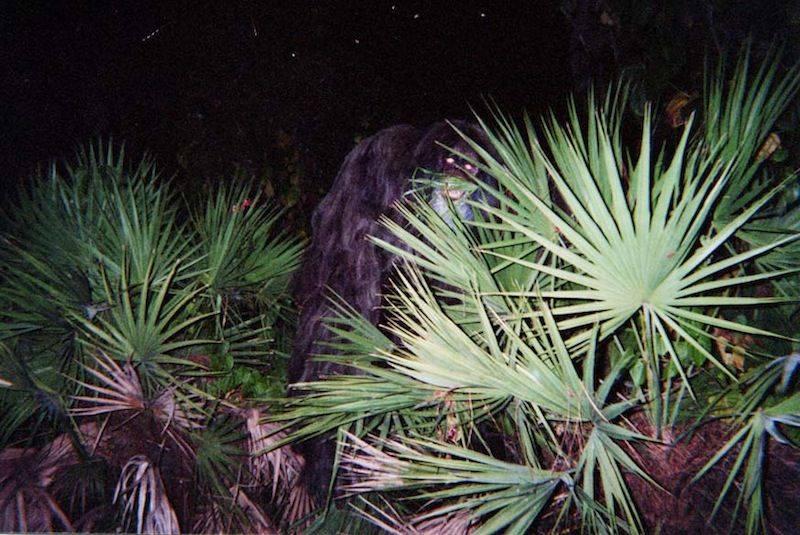 Skunk Ape Alleged Sighting