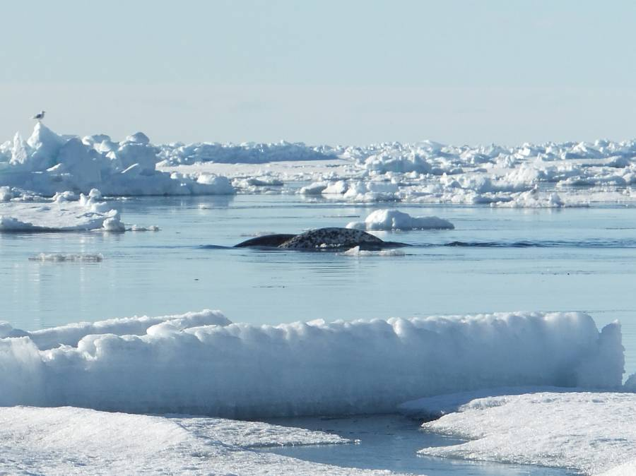 Narwhal_at_ice_edge