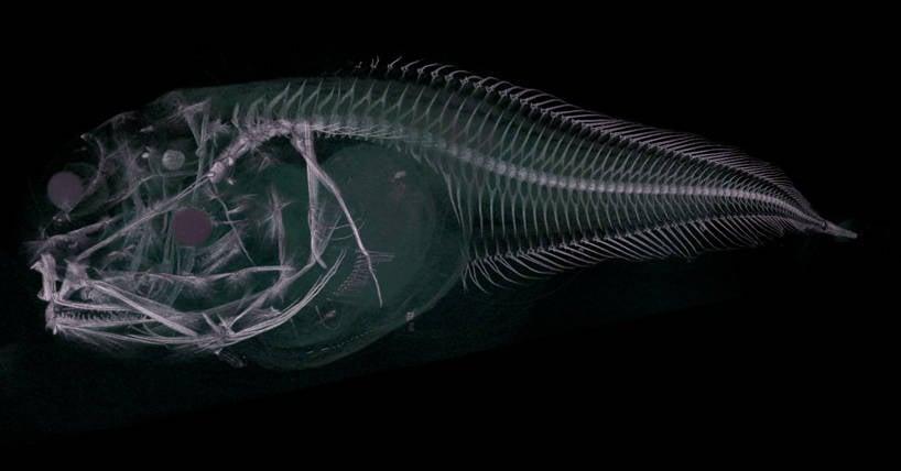 Atacama Snailfish Ct Scan