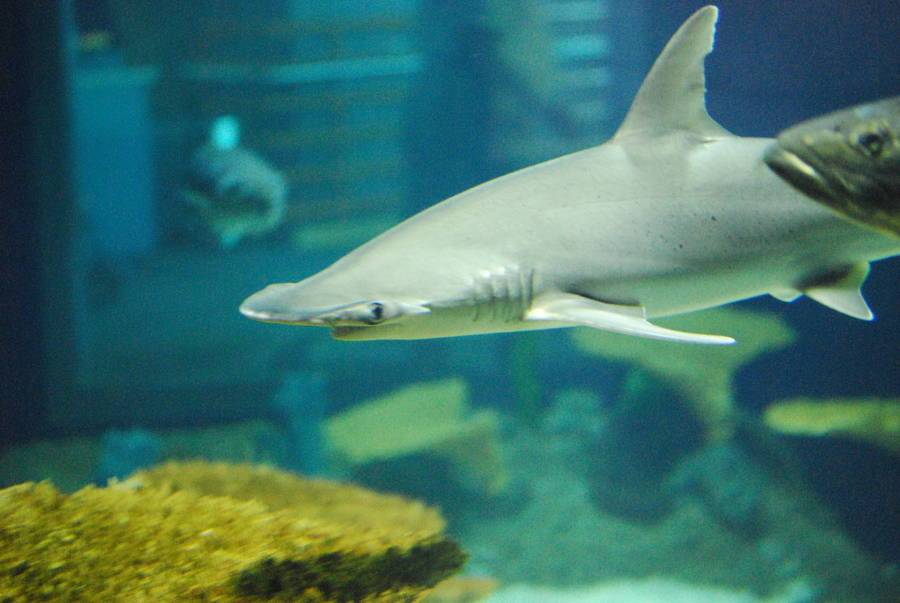 Bonnethead In Aquarium