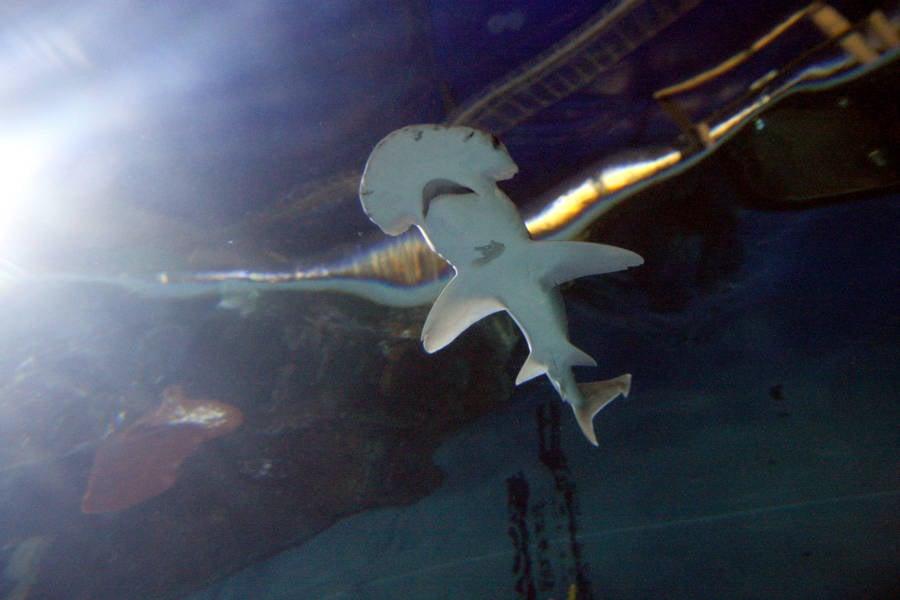 Bonnethead Shark Surrey