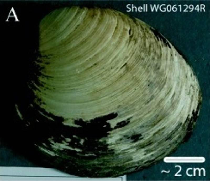 Ming Clma Shell