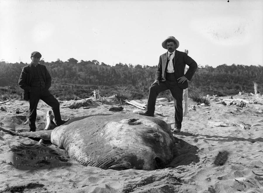 Ocean Sunfish Washed Up