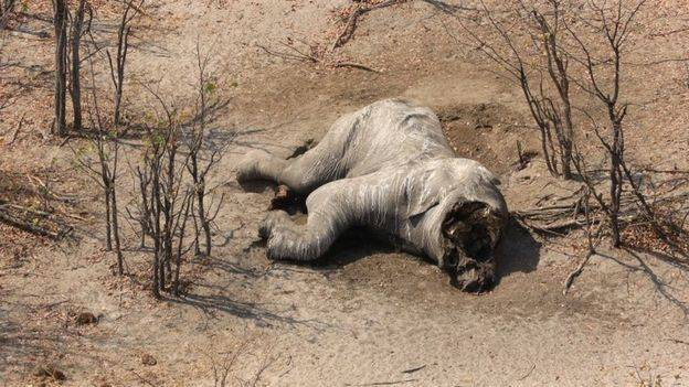 Poached Elephant In Botswana