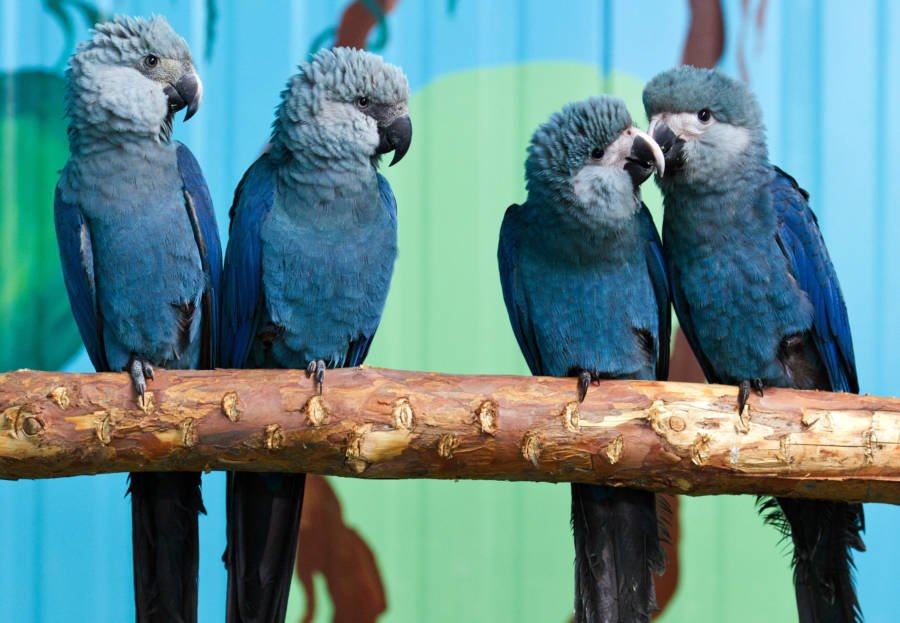 Image result for spix macaw