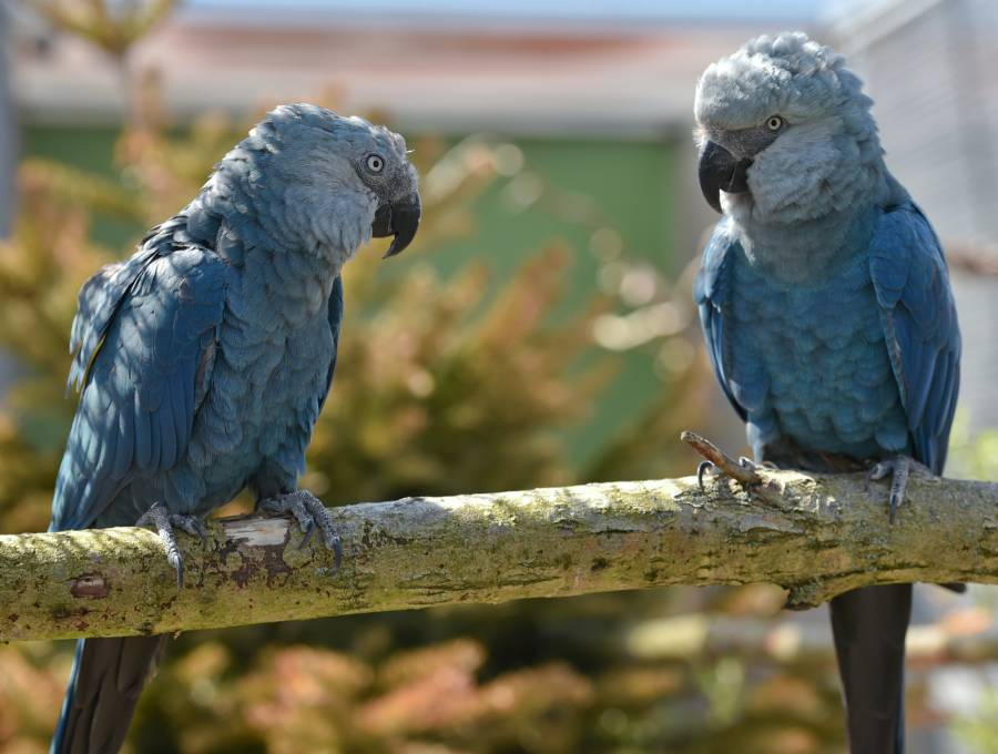 Spix's Macaw Pair